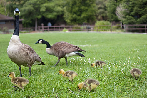 canada-goose-with-goslings-on-grass